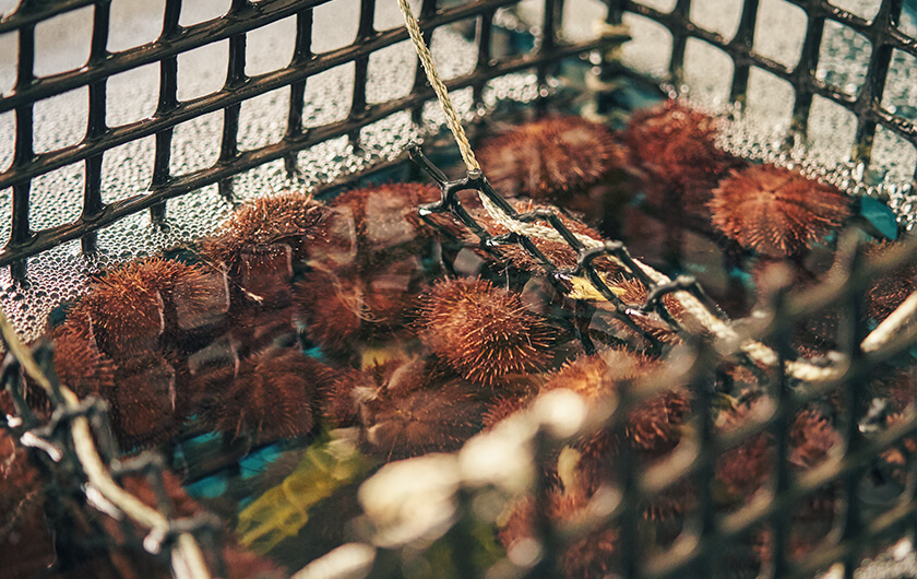 Photo : Sea urchins grown in land-based aquaculture tanks. Sea urchin aquaculture has only a few precedents even in the sea. Kamoenai-mura Village has engaged in sea aquaculture with neighboring Iwanai Town since 2016, which has led to a virtuous circle of &quo;Fishtech&quo; and the village's revitalization.