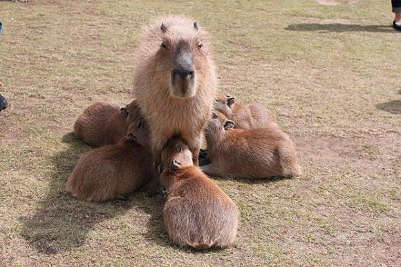 五つ子を育てる、阿蘇ファームランドのお母さんカピバラ