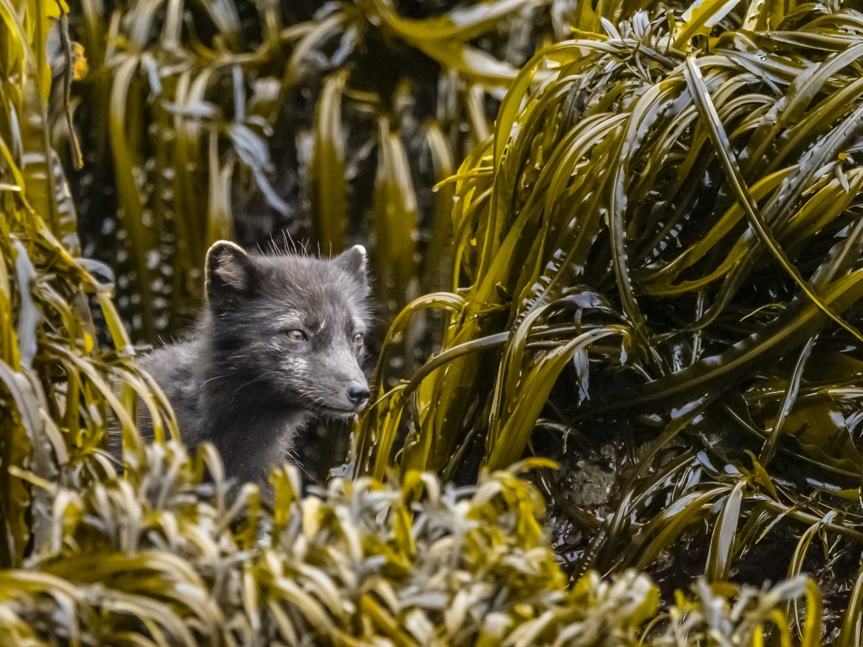 RLH Arctic Fox.jpg