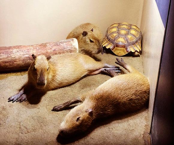 アクアパーク品川のカピバラさんはリクガメと一緒