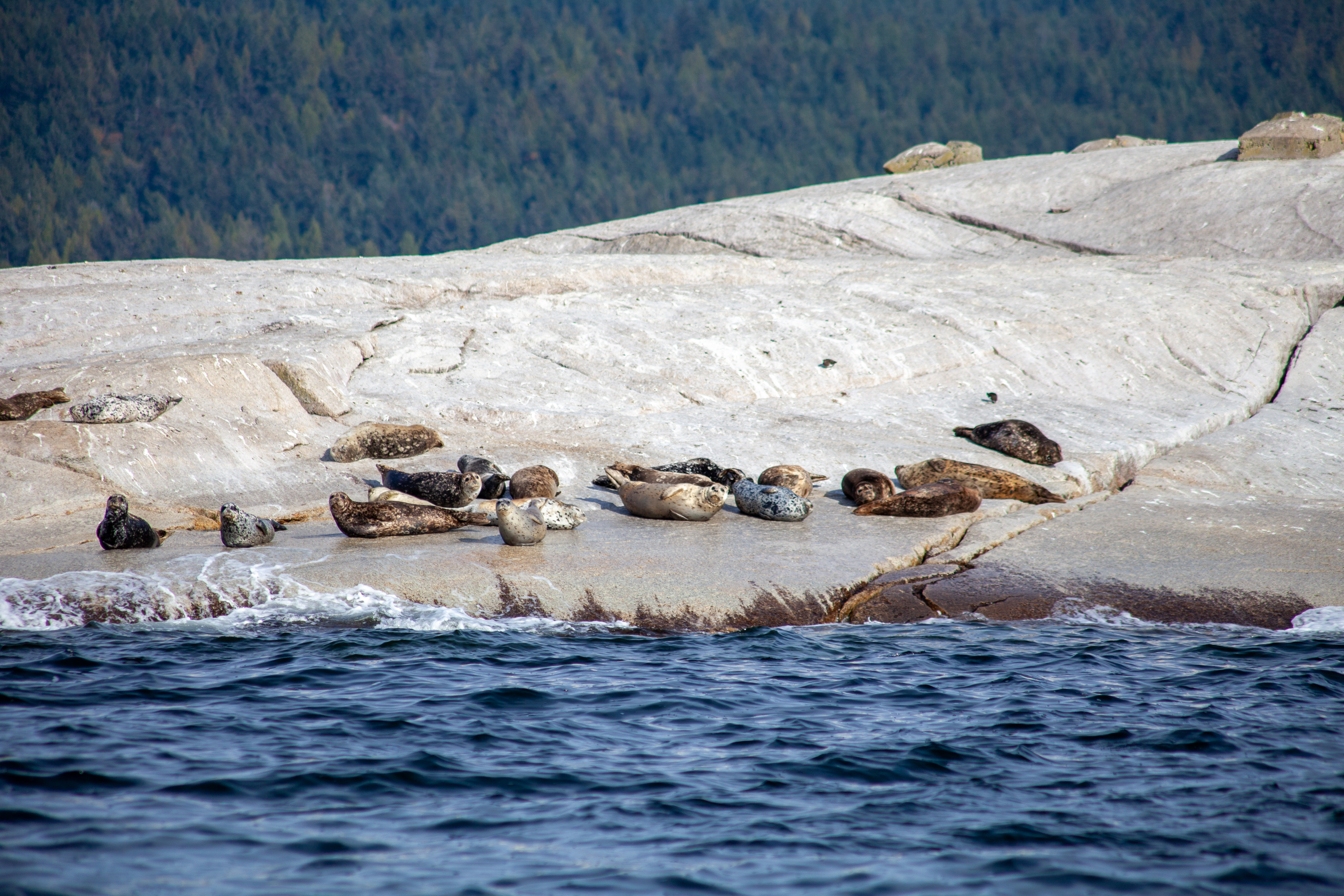 A group of British-Columbia Harbour Seals sun themselves on a haul out rock