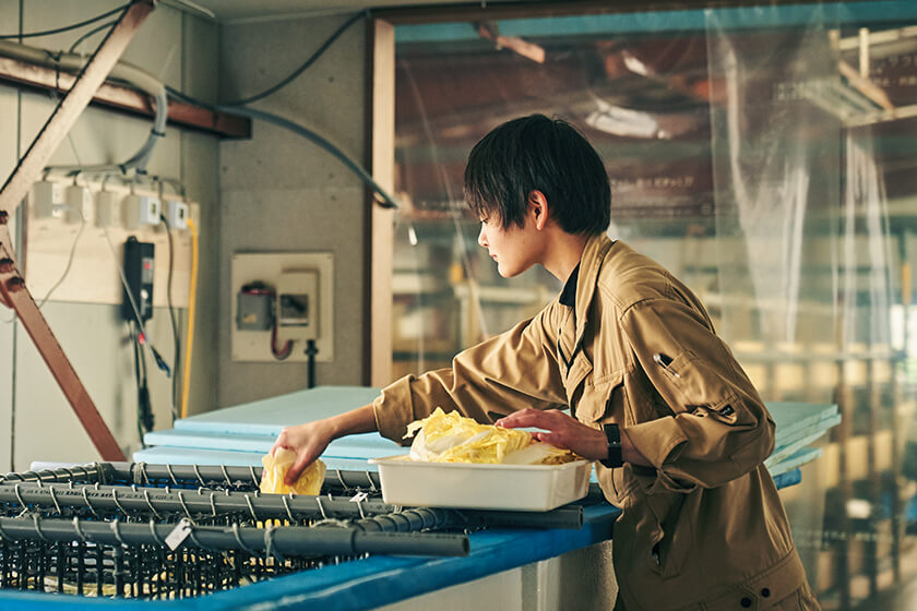 Photo : Ms. Tsukamoto feeding Chinese cabbage (or, on some days, regular cabbage) to sea urchins. As an aquaculture technology expert, she was welcomed as a Kamoenai-mura Village office staff member.