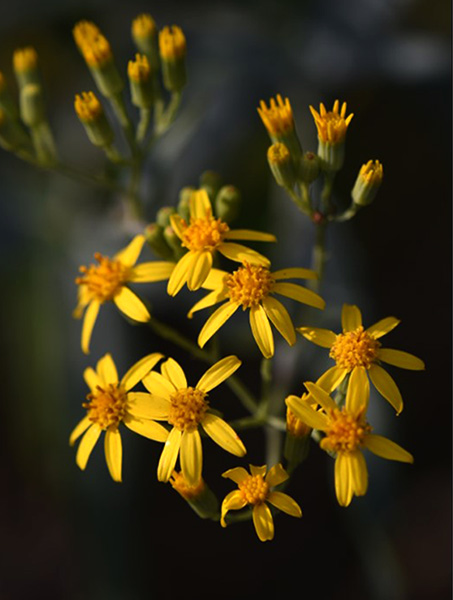 写真 : 生息の特定に成功した絶滅危惧植物 デイジー Senecio_linearifolius var. dangarensis (Photo credit: Lucas Grenadier)