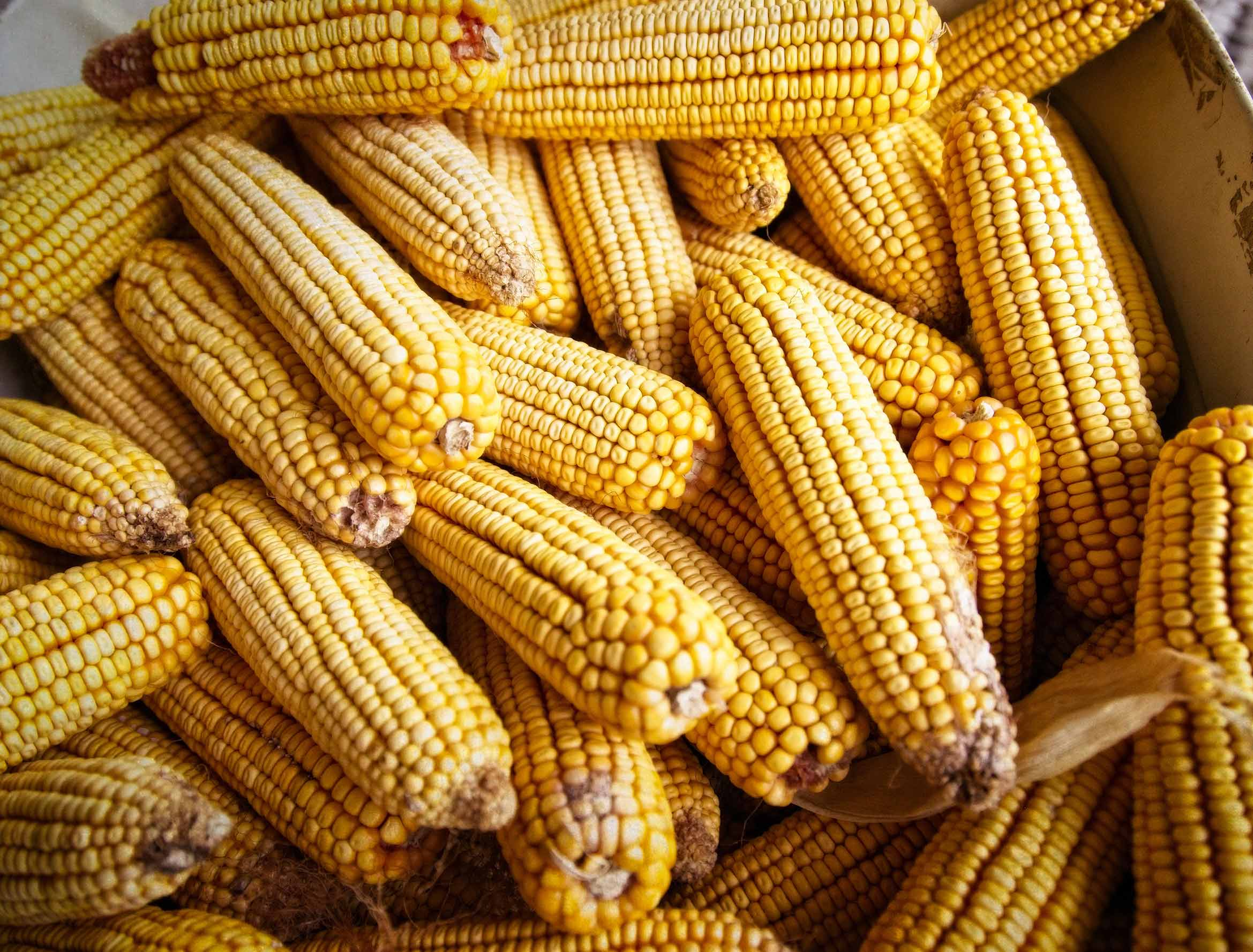 Basket of Corn on the Cob