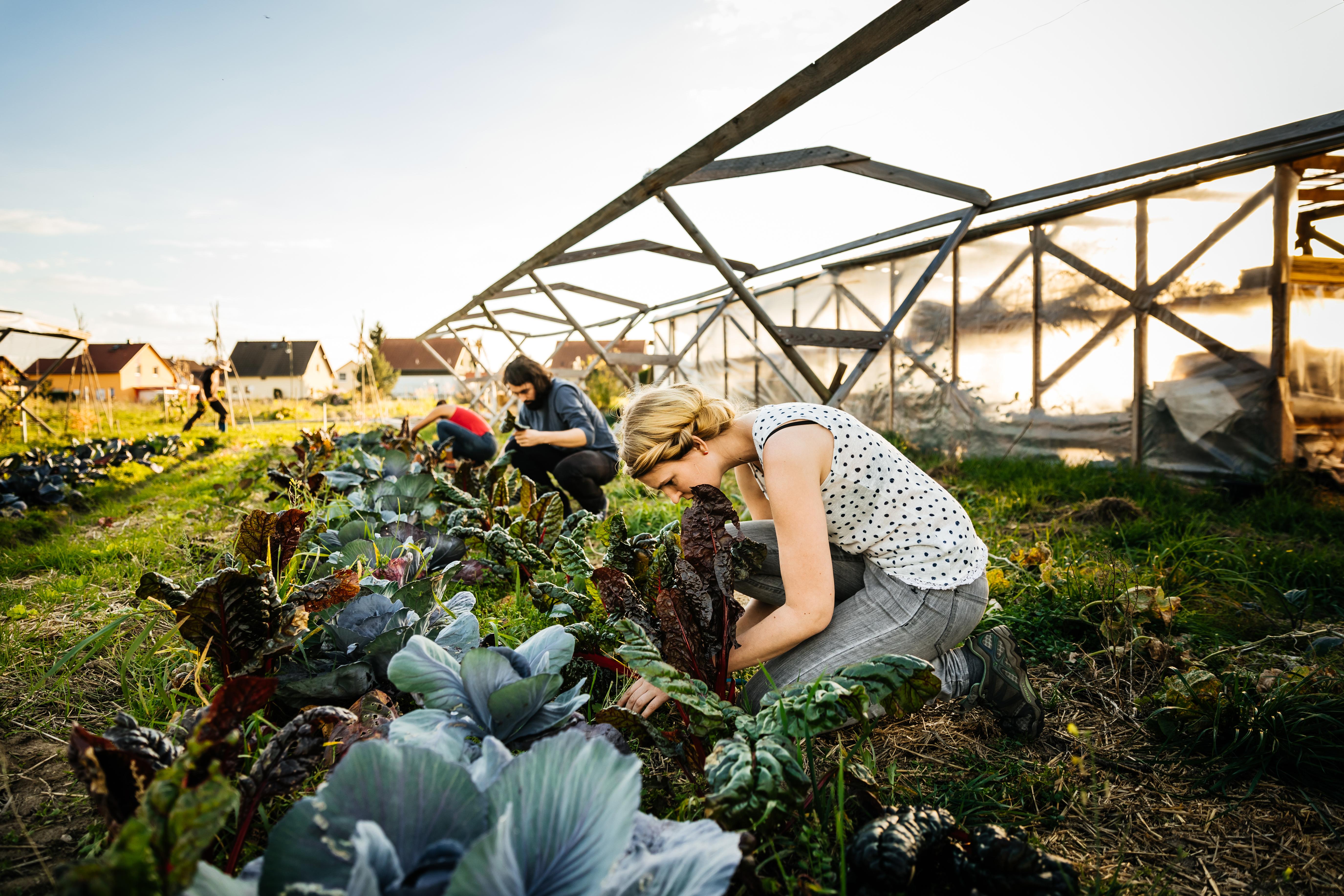 Urban Farmers Harvesting Rhubarb From Small Organic Crop