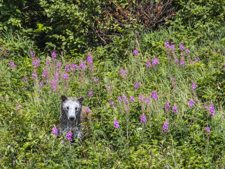 white faced bear in meadow.jpg