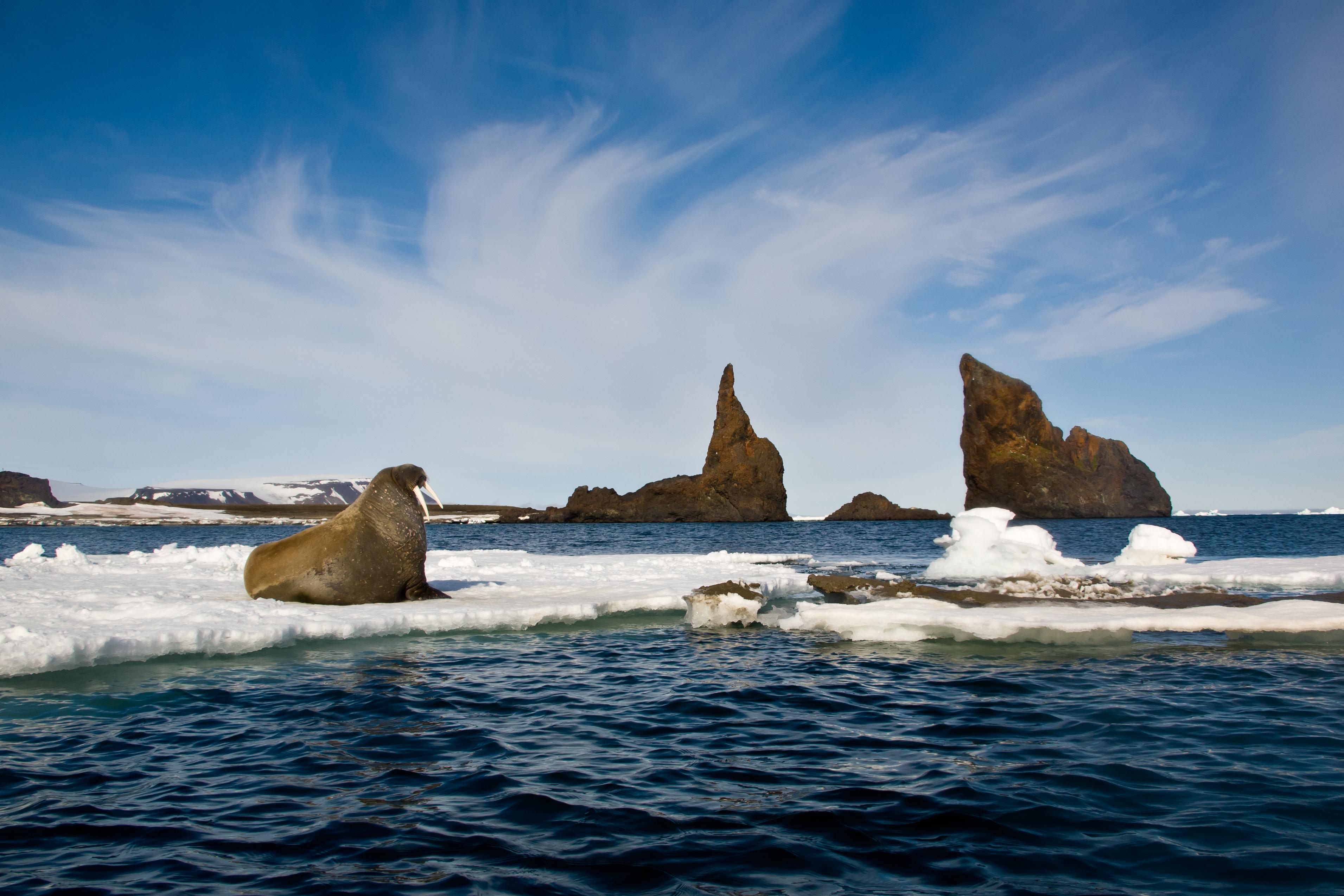 Walrus on an ice flow Franz Josef Land