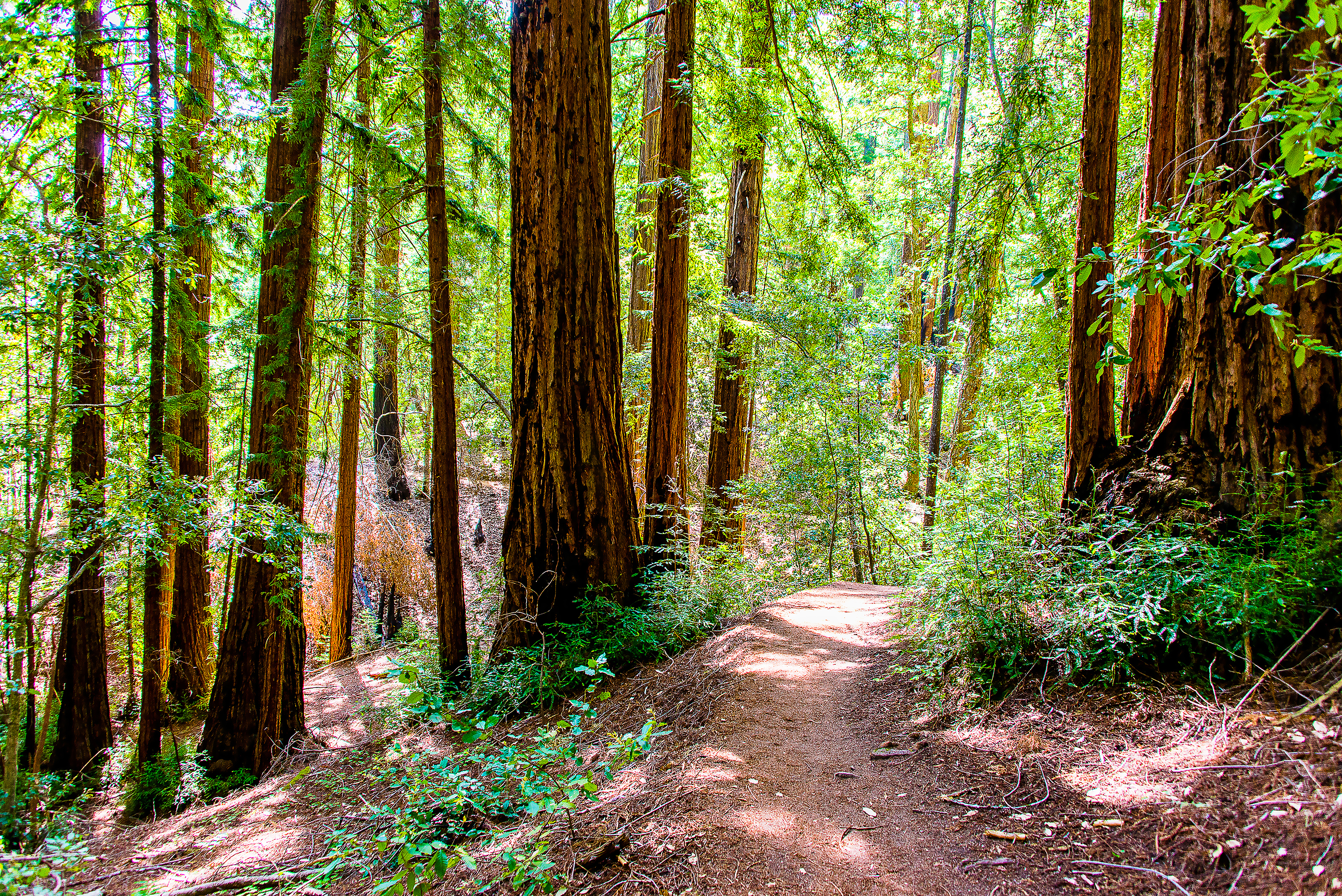 Beautiful Red Wood Park forest with sequoia trees