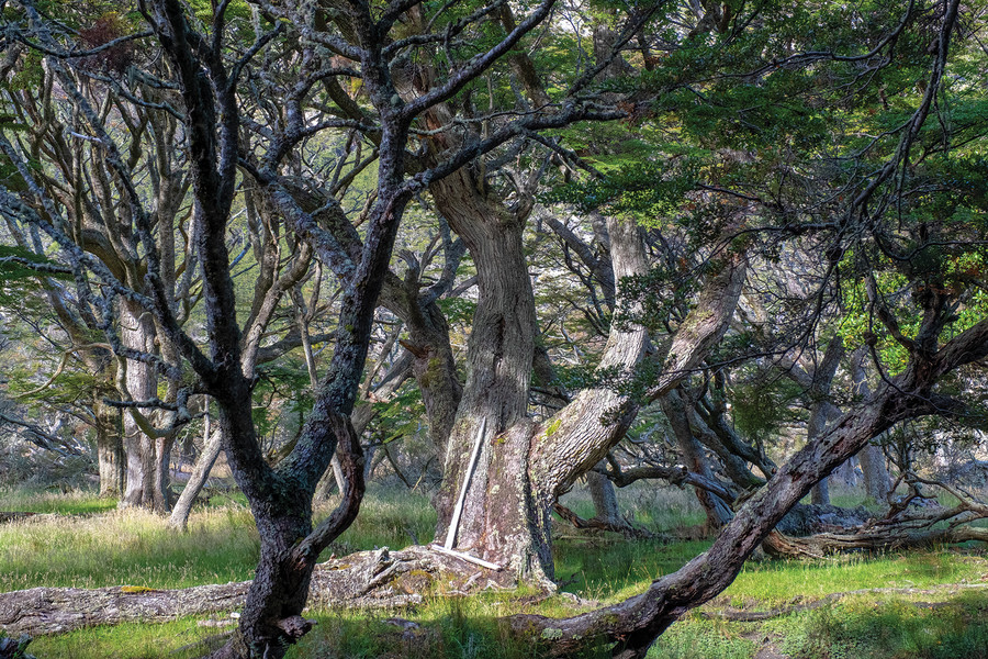 Southern beech trees