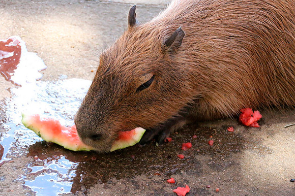 実はカピバラは皮の部分も大好き。しっかり残さず食べます。