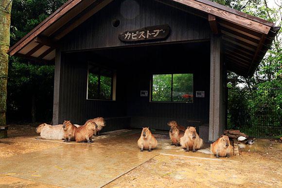 屋根の下で雨宿りするカピバラたち