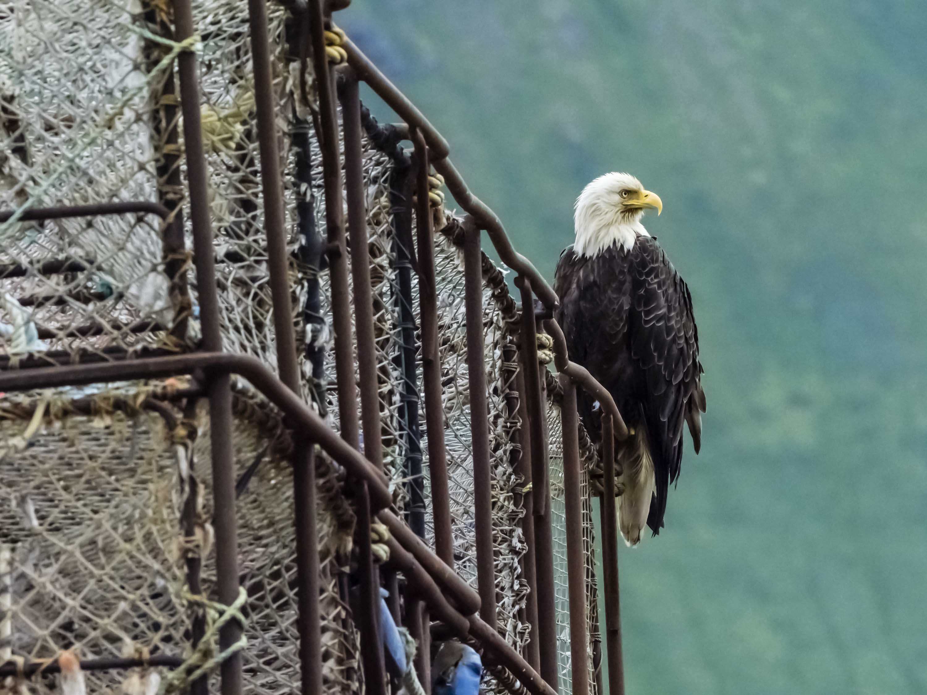 eagle on cage Russia Wildlife.jpg