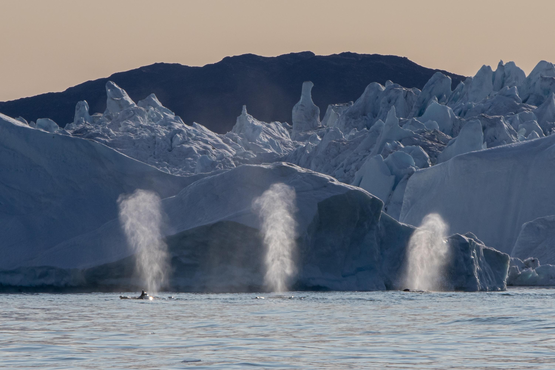 Greenland_humpbacks_ConorRyan.jpg