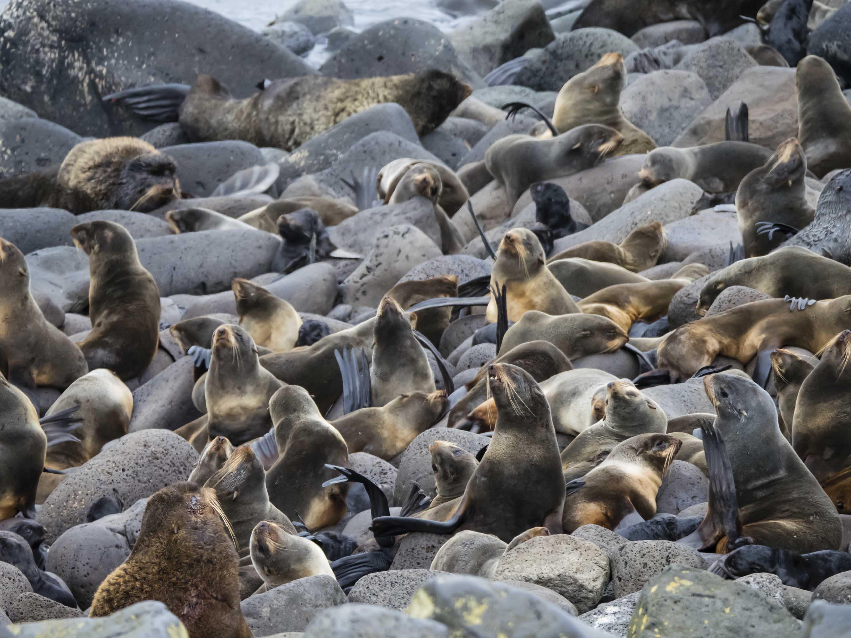 flock of fur seals.jpg