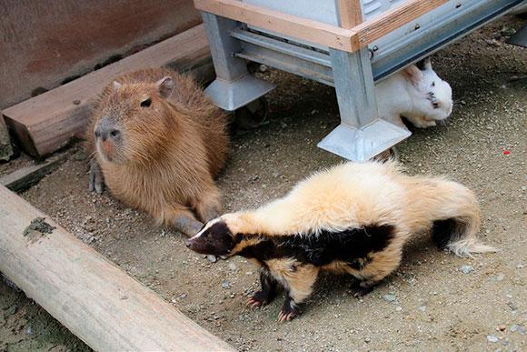 ウサギとスカンク。