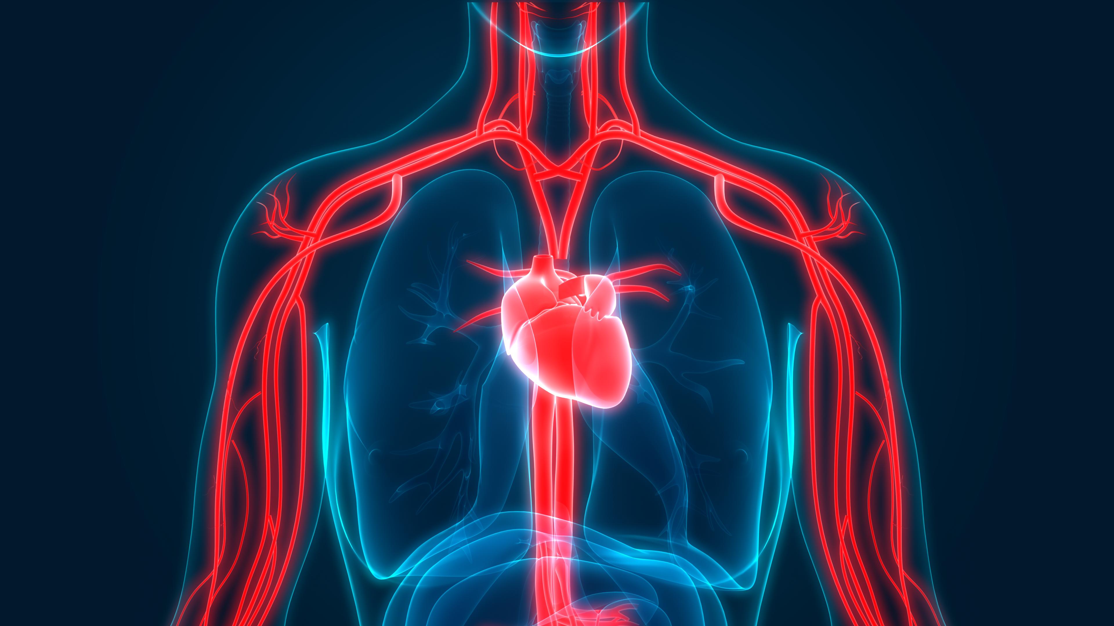 3D Illustration of Human Circulatory System Anatomy