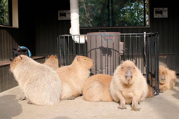 真冬の動物園で、暖まりながらカピバラと触れ合えるなんて、とても贅沢な場所です。