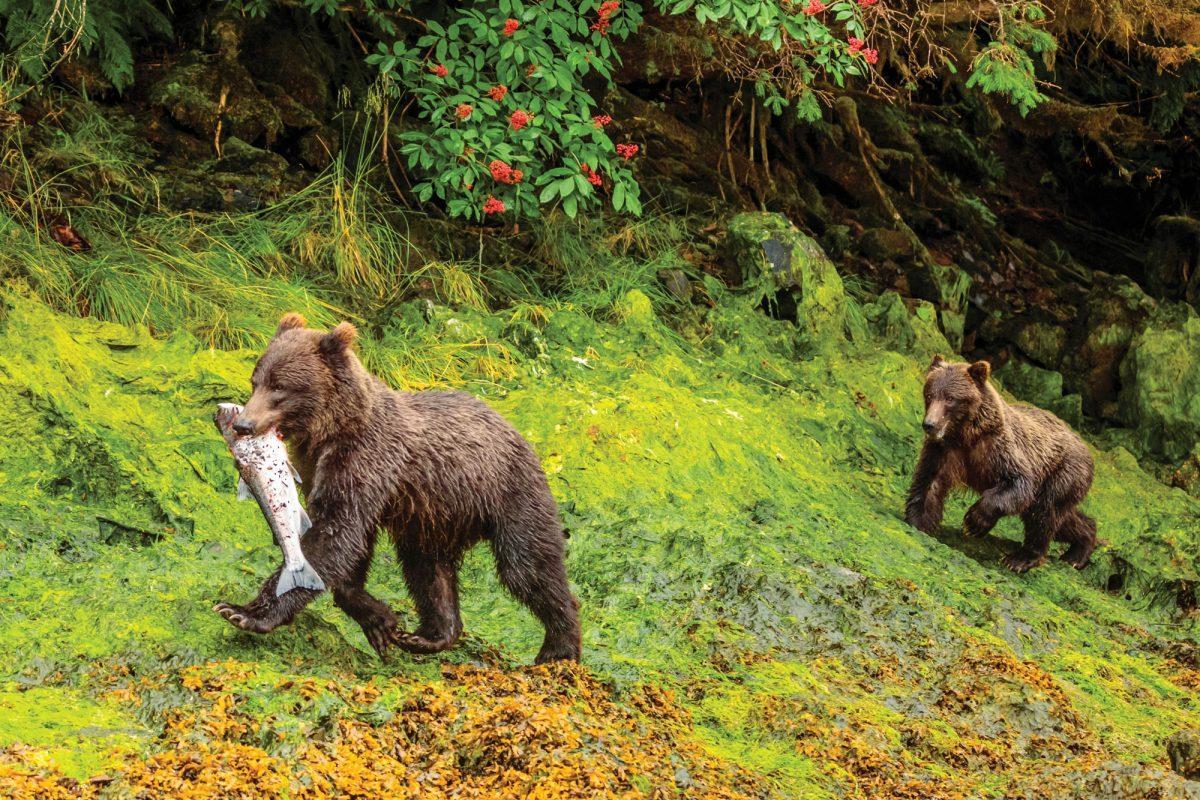 Southeast alaska bears