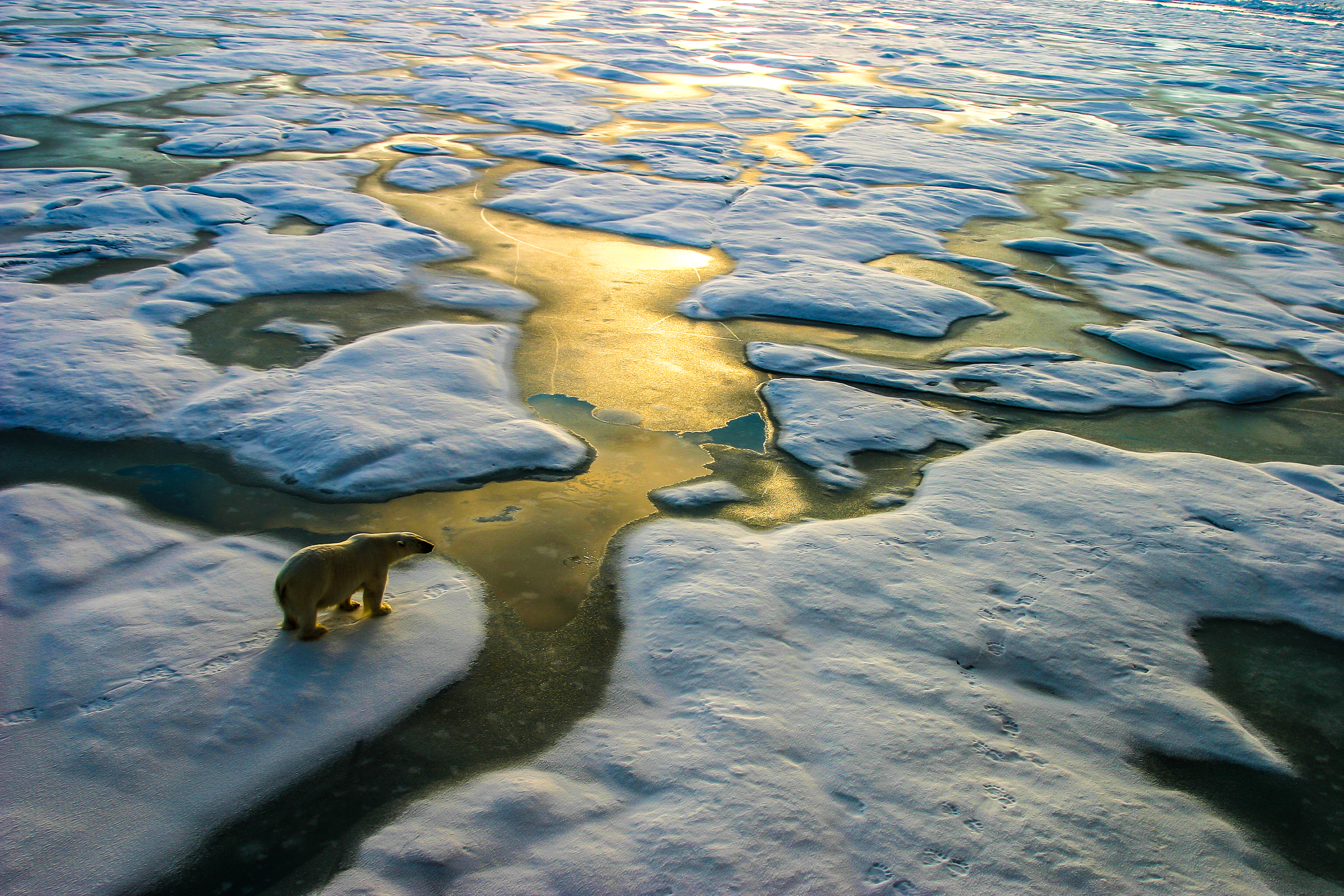 Polar bear in the russian arctic