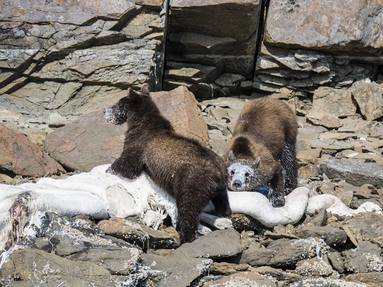bears feeding on whale .jpg