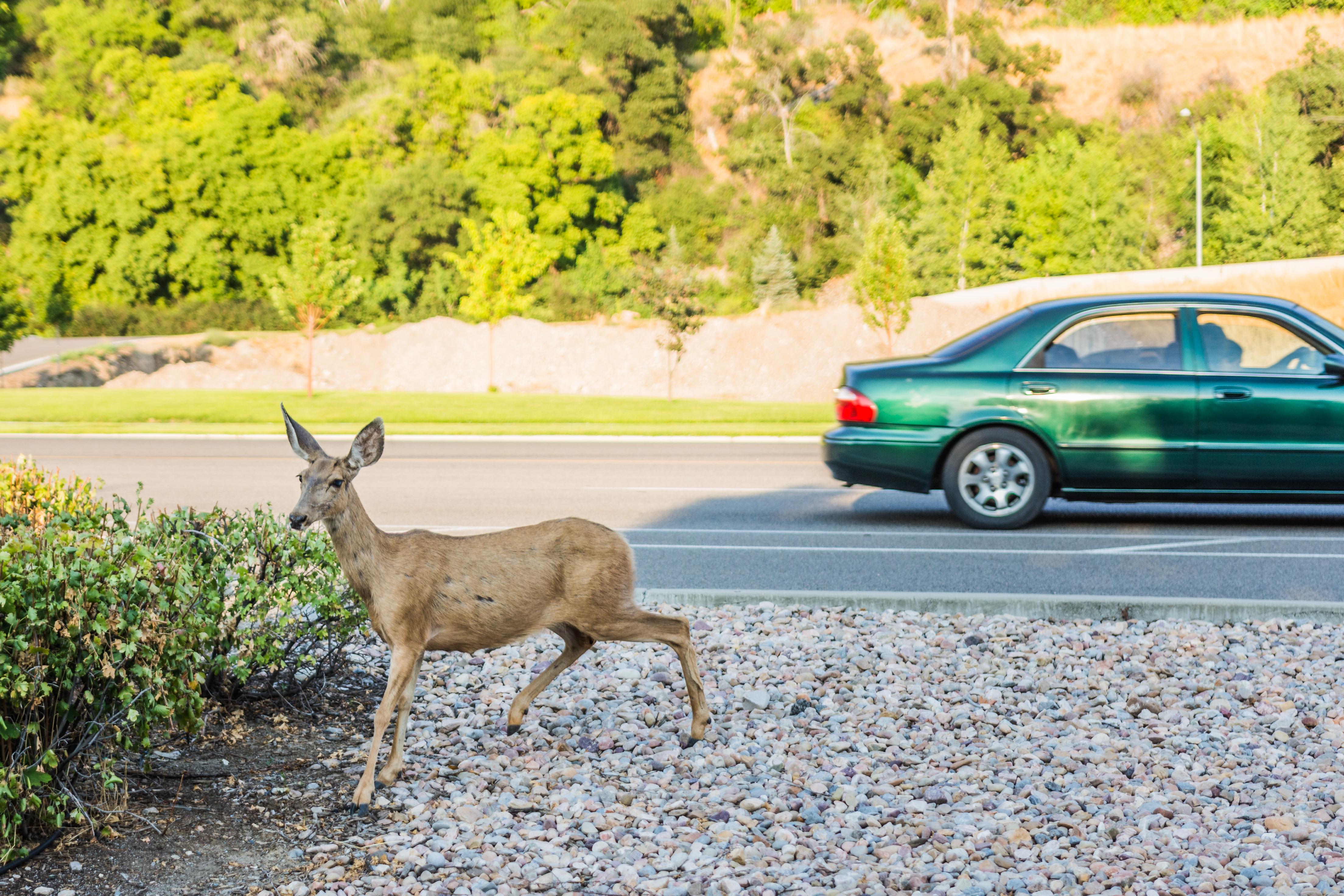 Deer running across busy road