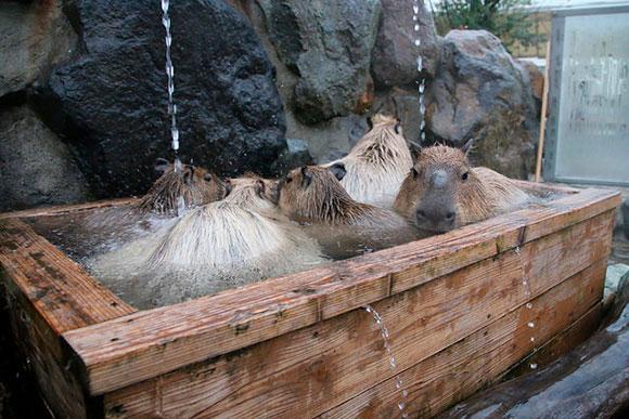 ヒノキ風呂に家族で入るカピバラ。