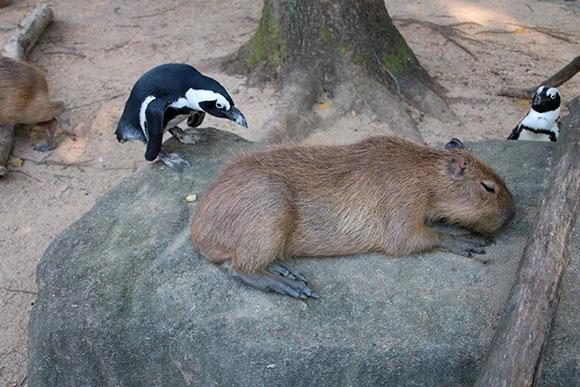 ルームメイト⑤ ペンギン