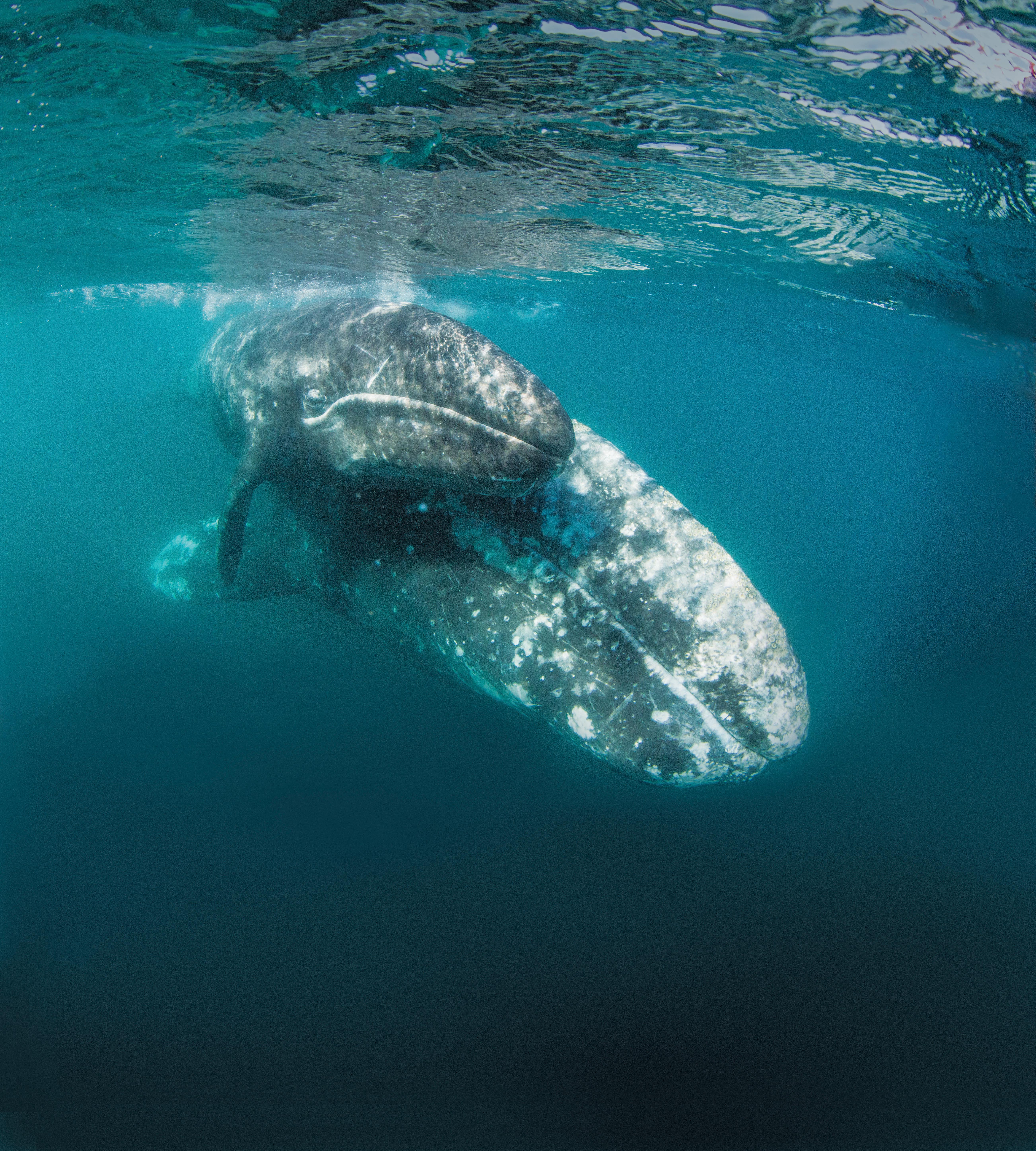 grey whaleBM592a.jpg