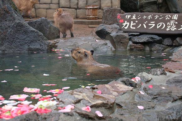大きな岩風呂でゆったり温泉に入るカピバラ。