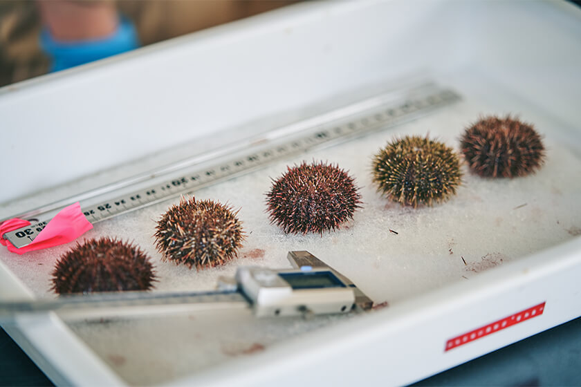 Photo : Sea urchins grow steadily with Fishtech® Aquaculture Management. Their weights and sizes are measured regularly.