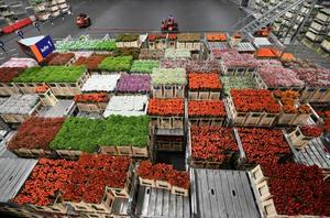 Holland's domination of the global market for flowers accelerated in the 1950s