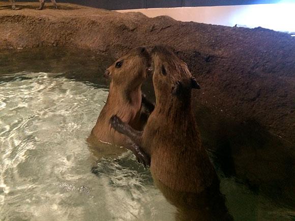 ちびっこカピバラなので、プールに入ると取っ組み合いを始めたり。