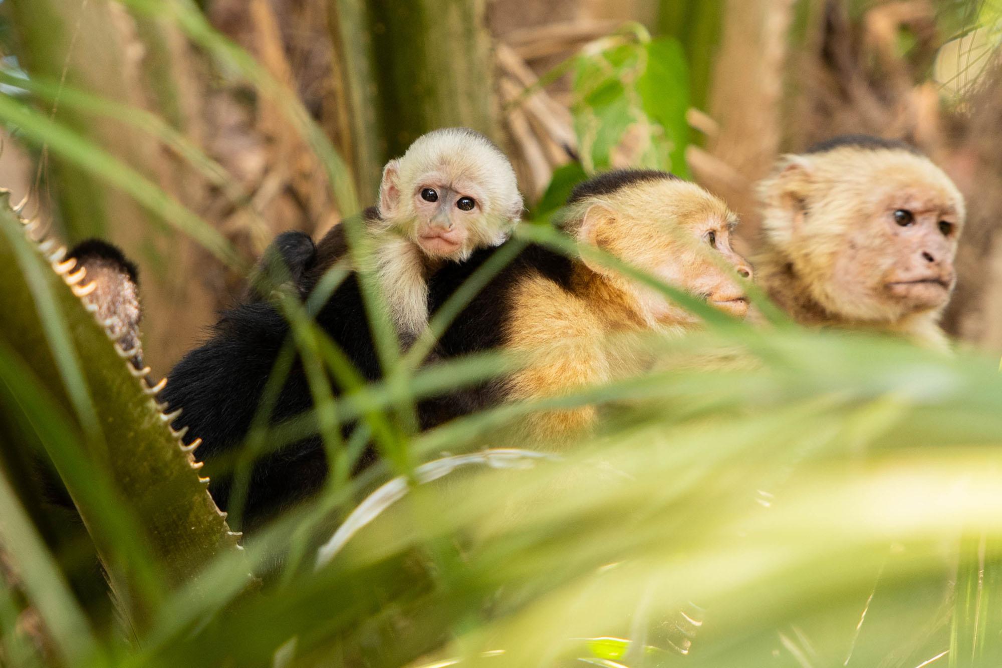 Monkeys_Guanacaste.jpg