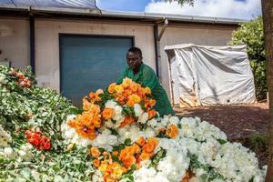 Roses at a flower farm in Kiambu County Kenya