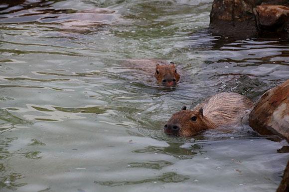 鼻が水面に出てるから、息継ぎ不要!楽ちん!@長崎バイオパーク