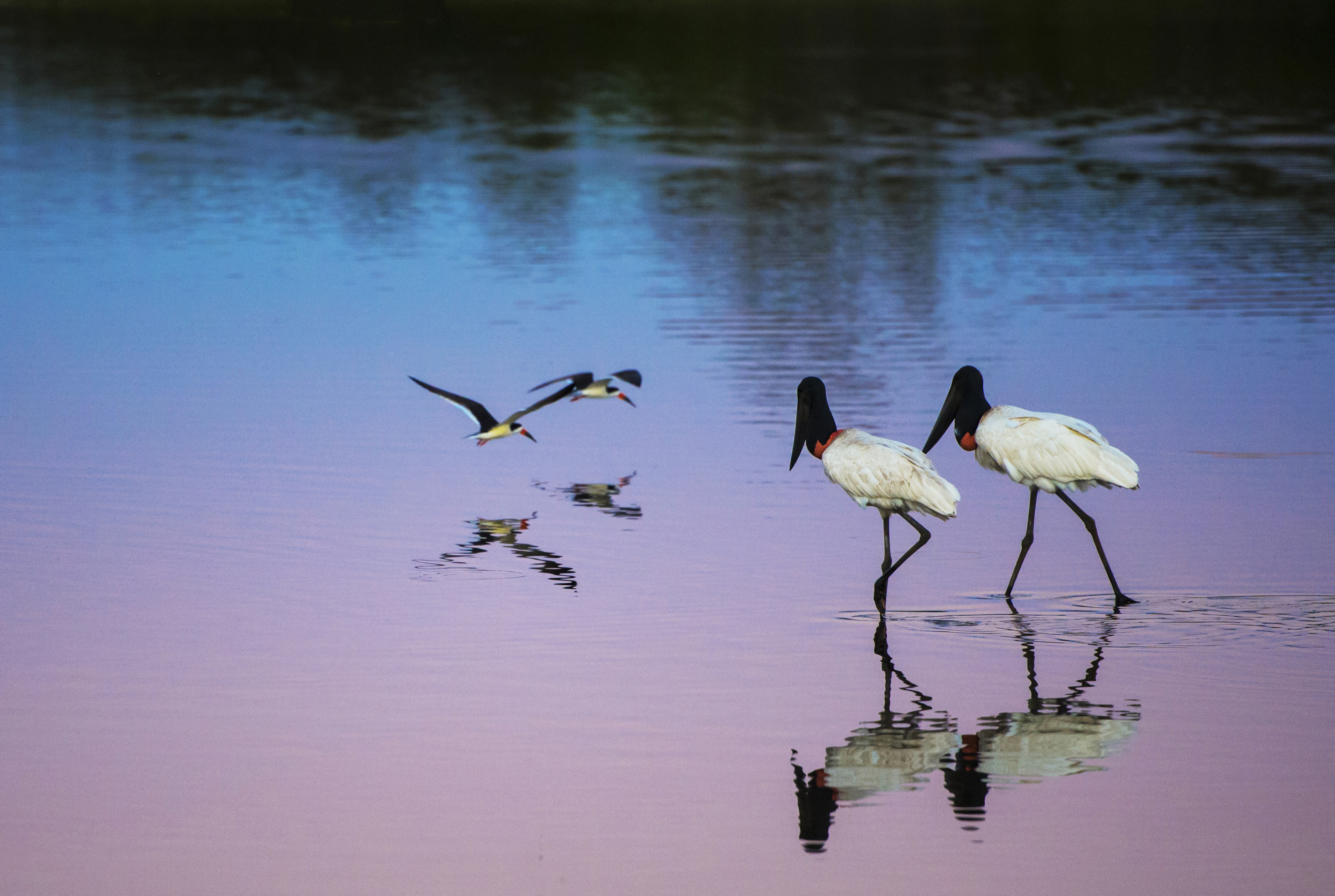 Jabiru stork couple and Skimmer couple on the lake