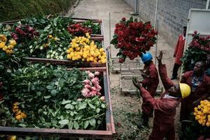 In Kenya flowers are shipped back to the Netherlands before being distributed to markets everywhere