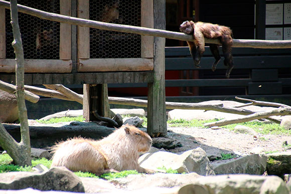 サルとカピバラの駆け引きも見ることができます
