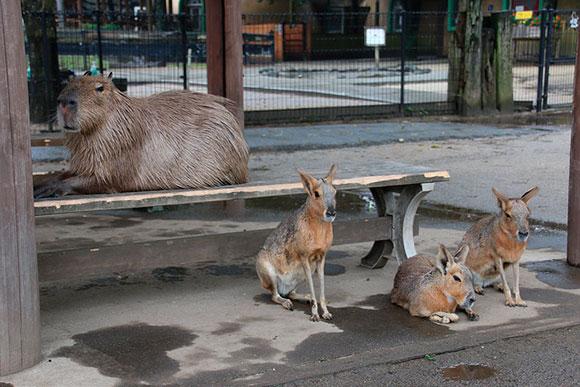 お客さん用のベンチで雨宿りするカピバラ(左)とマーラ(右)