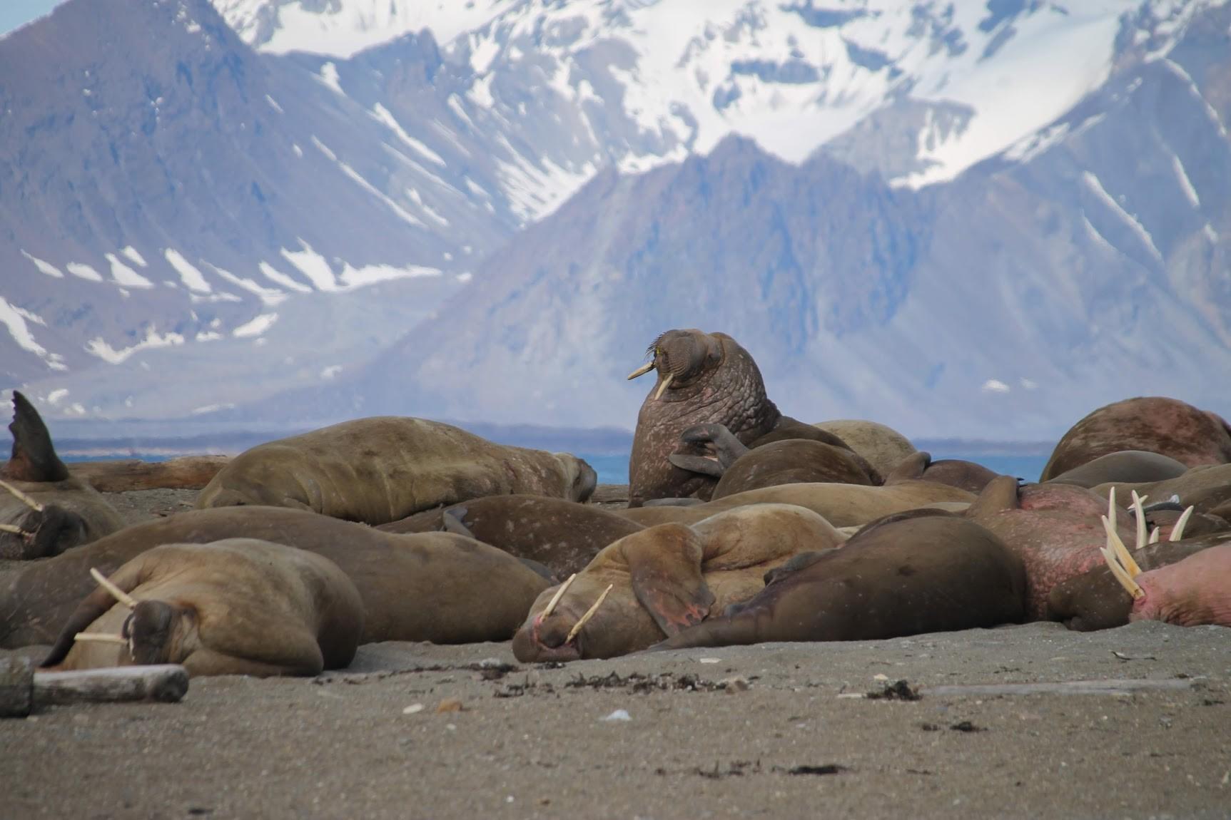 laura walruses.jpg