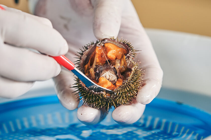 Photo : Fresh sea urchins taste sweet. Village Mayor Takahashi likes to eat them raw, in soup, or roasted in foil.