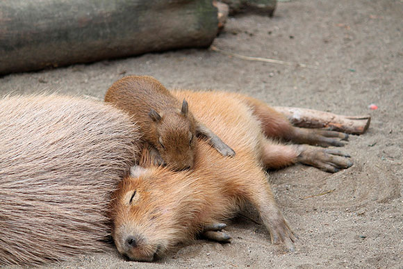 カピバラ家族 寄りかかりver.@埼玉県こども動物自然公園