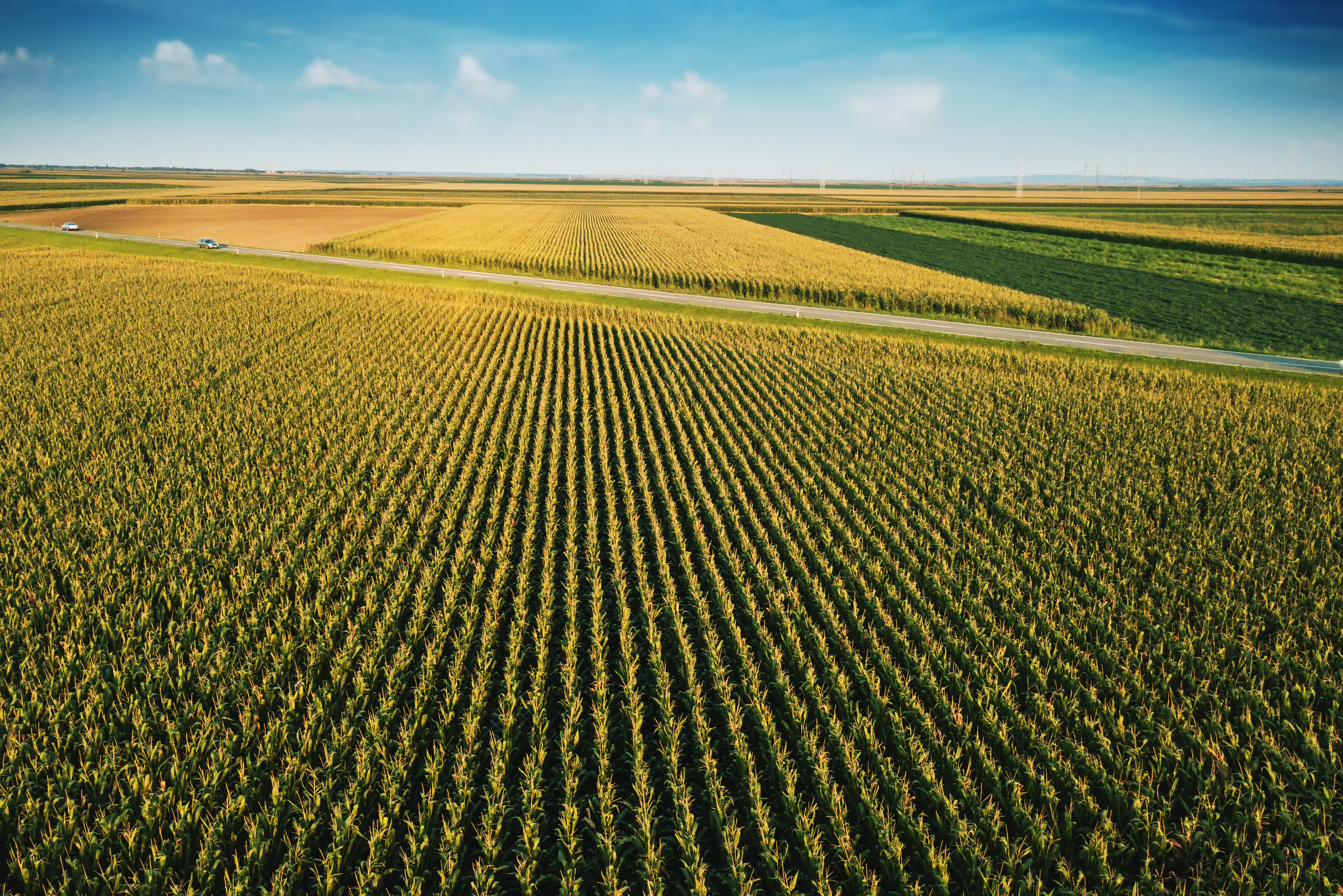 Aerial drone view of cultivated green corn field