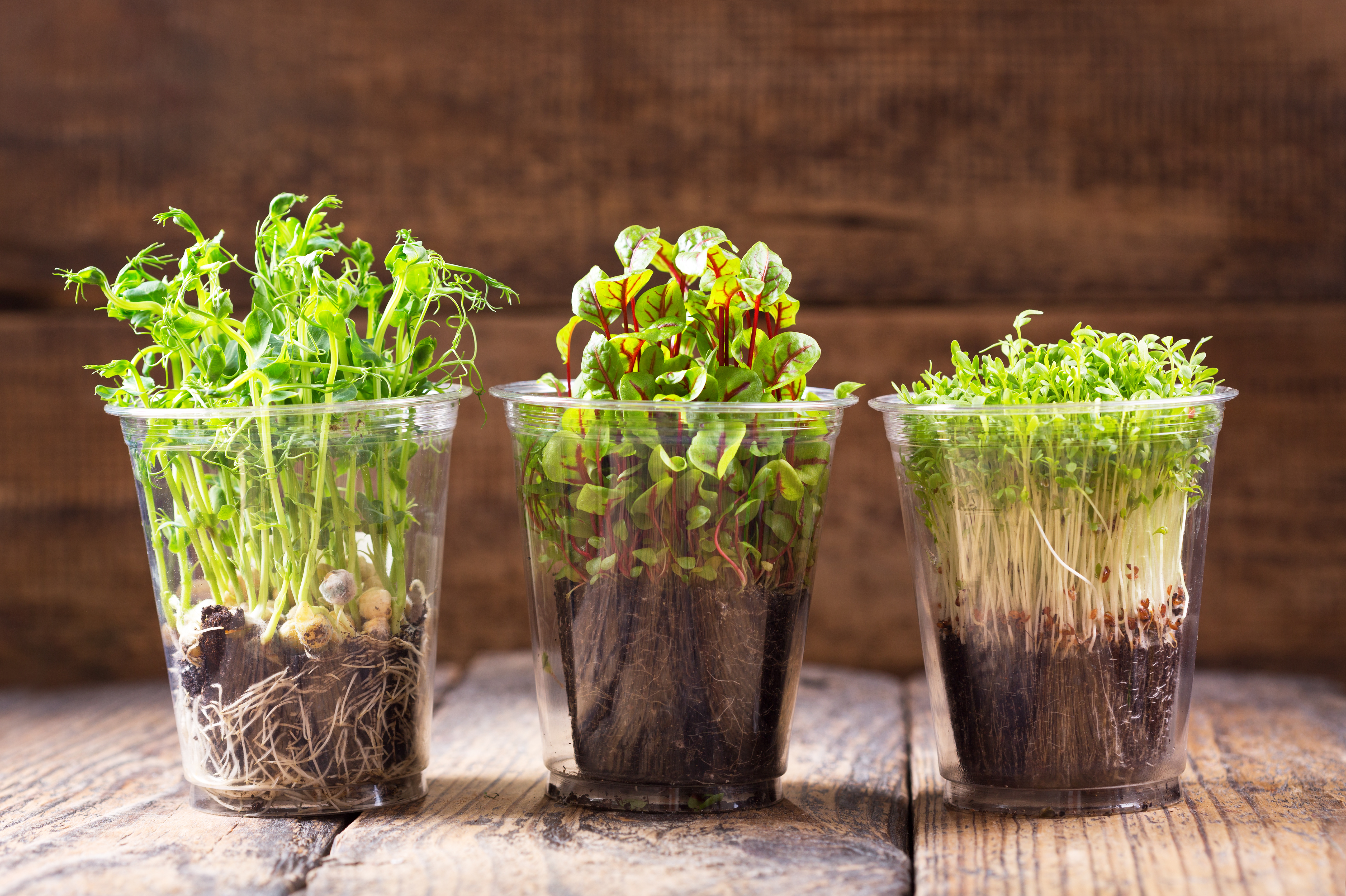 growing cress plants in a pots