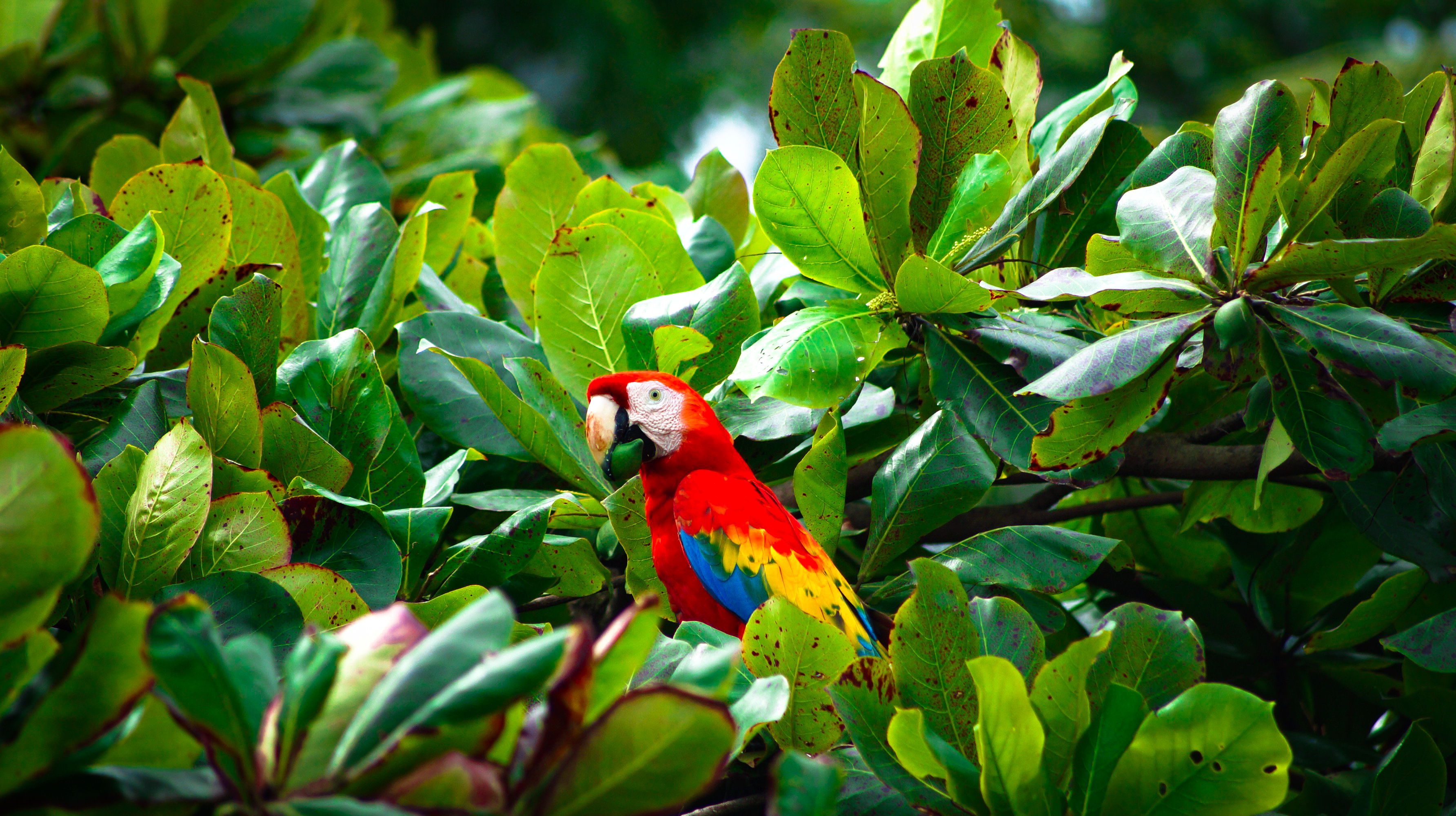 Wild scarlet Macaw sitting in a tree at the beach at Corcovado National Park, Costa Rica